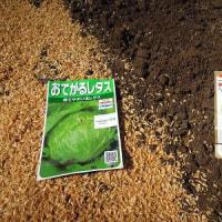 定植イチゴに追肥&大根(優秋)玉レタス(おてがるレタス)の種蒔き、茎ブロッコリー、パセリ苗植え付け!