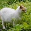 シソの葉摘み* 同行猫