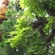 庭にキジバトの巣がありました