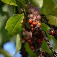 「田虫葉」の赤い実で
