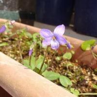 スミレの育て方3月 スミレの花を楽しむ  日本スミレの開花4番目 プランターのコスミレ