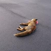 キツネが道路ではねられていた