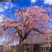 笠間の枝垂れ桜の追加