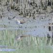 水際の草のあるところに、イソシギが出て来た。