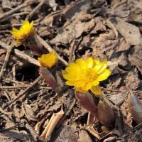 早春の花福寿草
