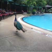 ガーデンプールに住んでる孔雀