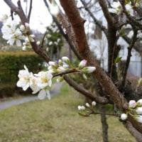 4月11日(火)のつぶやき★昨日の高楽寺の桜をみたあとに忘れていた買い物を思い出した!「キットカット日本酒」!金曜日にはキッと買う!😊!★