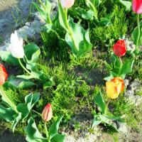 チューリップ&水仙の開花