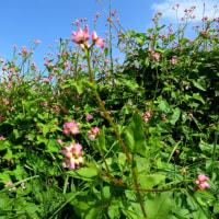 オタネ浜の花30ママコノシリヌグイ1