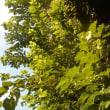 ウチの桑の木