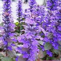 季節の花「アジュガ」