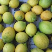 レモン 収穫