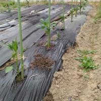 きゅうりの植替えとパプリカ植えました