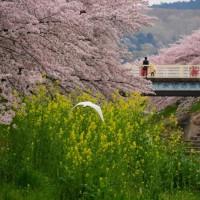 佐保川の春