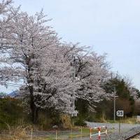 高原列車と桜
