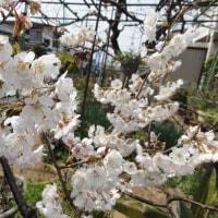 サクランボの開花