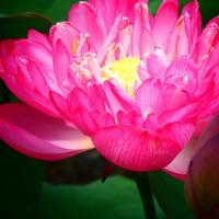 『蓮物語』 明るい花言葉