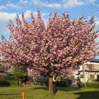 自然の贈り物 八重桜