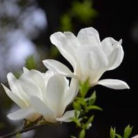 白木蘭の咲く頃 ~Nuoc mat Hoa Moc lan 木蘭の涙