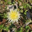 野も春へ シロバナタンポポが開花 宮代町の散歩道