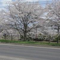 南光通りの桜