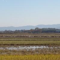白鳥の群れ