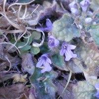 胡瓜草と金瘡小草と種漬花
