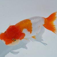 金魚を撮ってはいるものの