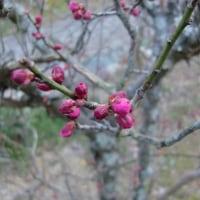 紅梅の花芽・・・