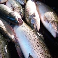 養殖サケの価格は上昇を続けるだろう