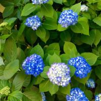額の花(額紫陽花)
