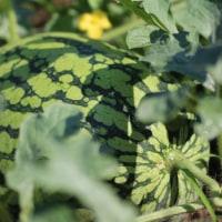 初夏の畑の野菜たち