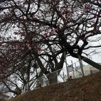 仙台で一番早く咲く「大寒桜」を見物~聖和学園高等学校三神峯キャンパス~