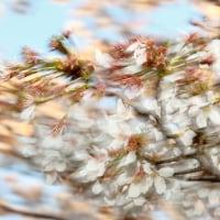 今年最後の桜撮影