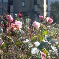 真冬の薔薇園
