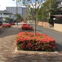 躑躅の歩道・木香薔薇