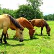 長野県開田高原の木曽馬