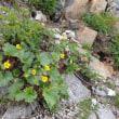 唐松岳の周辺の植物:ミヤマダイコンソウ