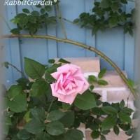 薔薇 ラ・フランス  +ベルファームにて出店*