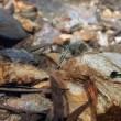 コンテリボウズハゼ Stiphodon atropurpureus (Herre, 1927) 沖縄本島(2014/11/23) No.02