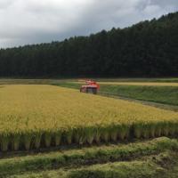 稲刈りが始まりました♪
