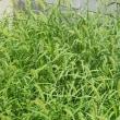 空地(草刈から4週間)緑の絨毯、暑さに花も閉じる