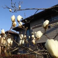 モクレンが、咲き始めました