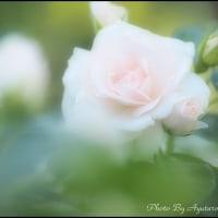 柔らかふんわりまどろみのバラ