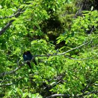 新緑の森のブッポウソウ♪