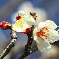 百草園は梅まつり