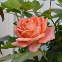 「パレオ90」に似たバラに大輪の花。
