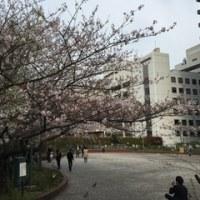 満開の桜のとともに新年度が始まりました