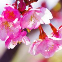 びわ湖畔の桜  大津市