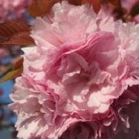朝日を浴びて-市役所の八重桜